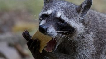What Raccoons Eat - How to Choose The Best Bait for a Trap