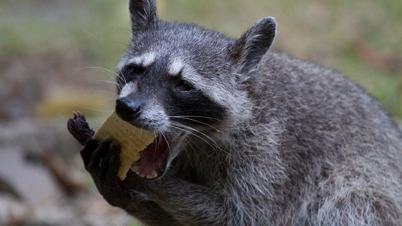 What Raccoons Eat