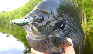 bluegill-bait-and-lure