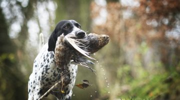 Best Duck and Waterfowl Hunting Dogs – All You Need to Know