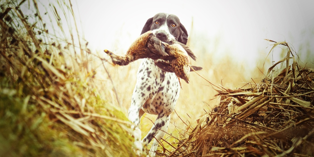 Best Waterfowl Hunting Dogs