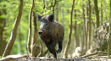Bowhunting Wild Hogs: Where to Shoot a Hog With a Bow?