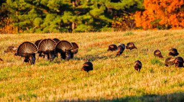 How to Prepare for Spring Turkey Season – 4 Simple Steps