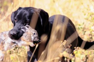 Rabbit Hunting with Dog