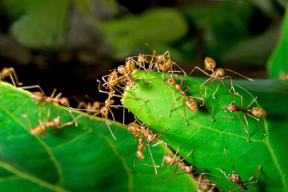 Benefits of ants