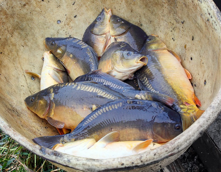 Bullheads (White Catfish Included)