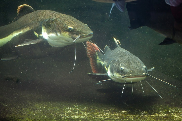 Types of Catfish